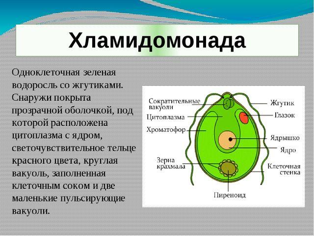 Хламидомонада Одноклеточная зеленая водоросль со жгутиками. Снаружи покрыта п...
