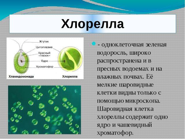 Хлорелла - одноклеточная зеленая водоросль, широко распространена и в пресных...