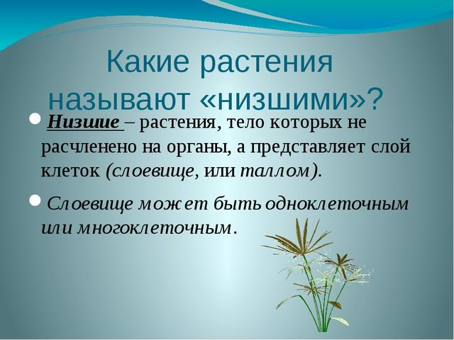 Какие растения называют «низшими»? Низшие – растения, тело которых не расчлен...
