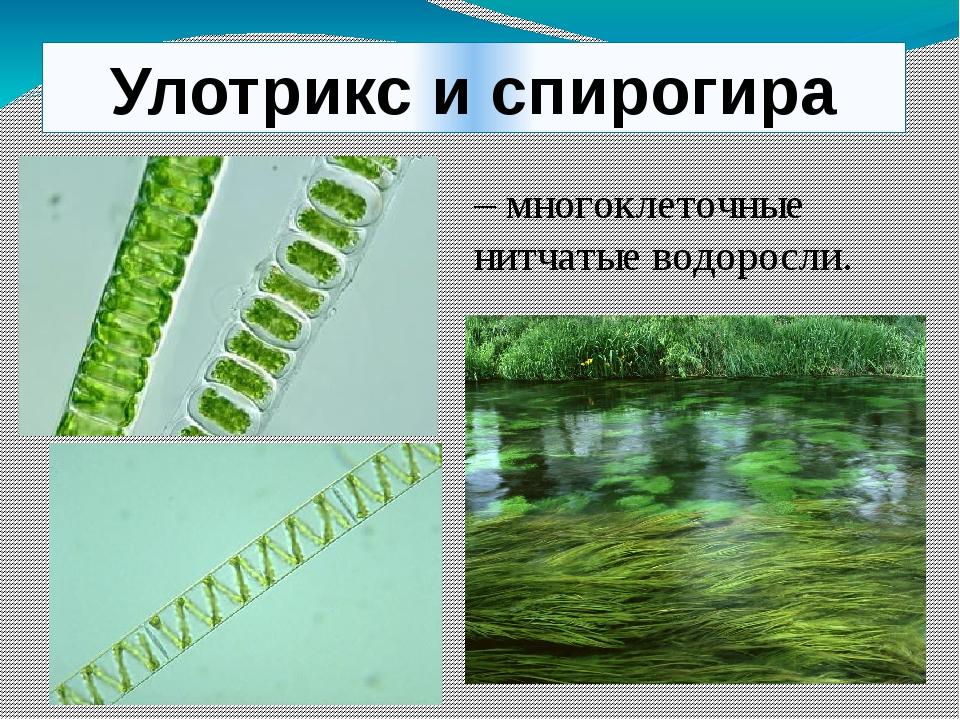 Улотрикс и спирогира – многоклеточные нитчатые водоросли.