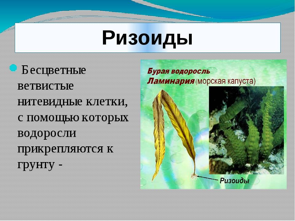 Ризоиды Бесцветные ветвистые нитевидные клетки, с помощью которых водоросли п...