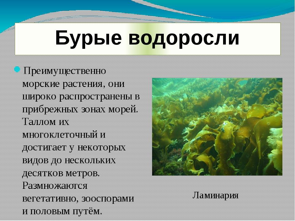 Бурые водоросли Преимущественно морские растения, они широко распространены в...