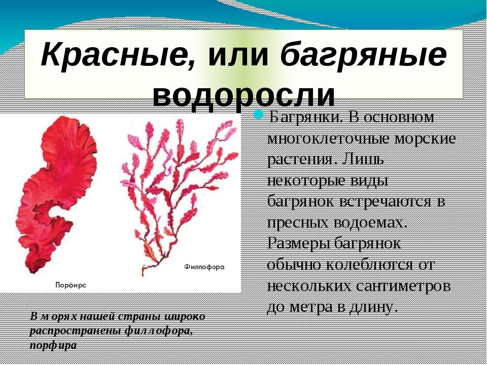 Красные, или багряные водоросли Багрянки. В основном многоклеточные морские р...