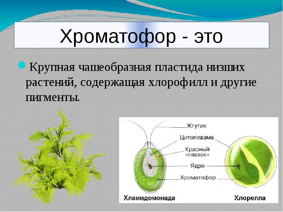 Хроматофор - это Крупная чашеобразная пластида низших растений, содержащая хл...