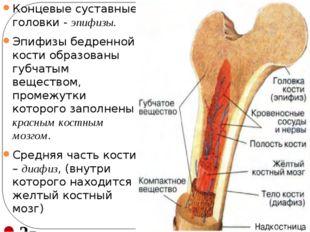 Концевые суставные головки - эпифизы. Эпифизы бедренной кости образованы губч