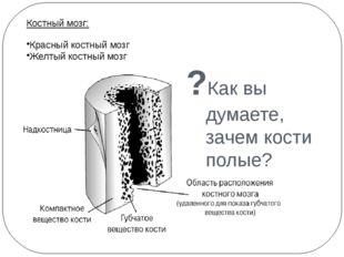 ?Как вы думаете, зачем кости полые? Костный мозг: Красный костный мозг Желтый