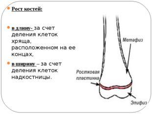 Рост костей: в длину- за счет деления клеток хряща, расположенном на ее конца