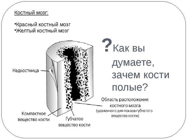?Как вы думаете, зачем кости полые? Костный мозг: Красный костный мозг Желтый...