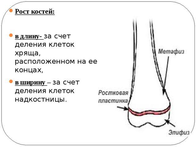 Рост костей: в длину- за счет деления клеток хряща, расположенном на ее конца...