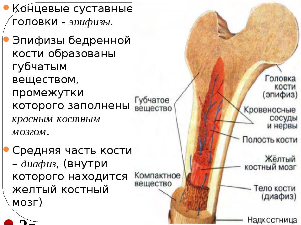 Концевые суставные головки - эпифизы. Эпифизы бедренной кости образованы губч...