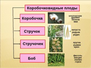 Коробочковидные плоды Коробочка Стручочек Стручок Боб дурман белена мак капус