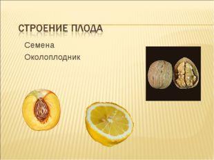 Семена Околоплодник