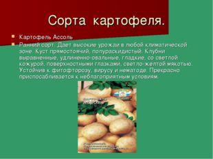 Сорта картофеля. Картофель Ассоль Ранний сорт. Дает высокие урожаи в любой кл