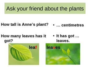 Ask your friend about the plants How tall is Anne's plant? How many leaves ha