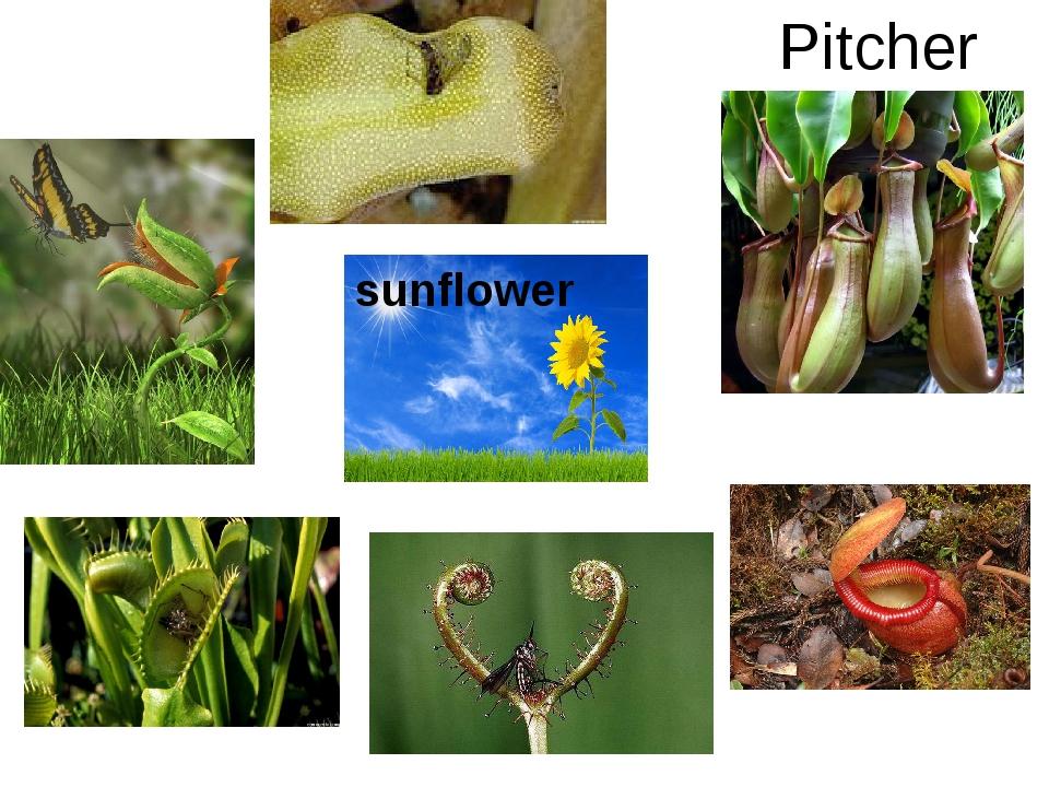 Pitcher plants sunflower