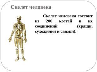 Скелет человека Скелет человека состоит из 206 костей и их соединений (хрящи,