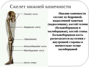 Скелет нижней конечности Нижние конечности состоят из бедренной, надколенно