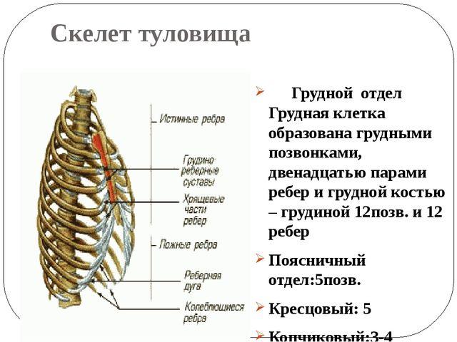 Скелет туловища Грудной отделГрудная клетка образована грудными позвонками,...