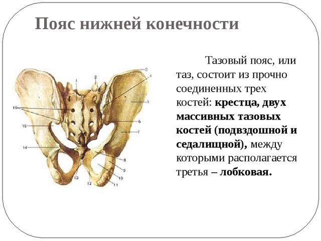 Пояс нижней конечности Тазовый пояс, или таз, состоит из прочно соединенных т...