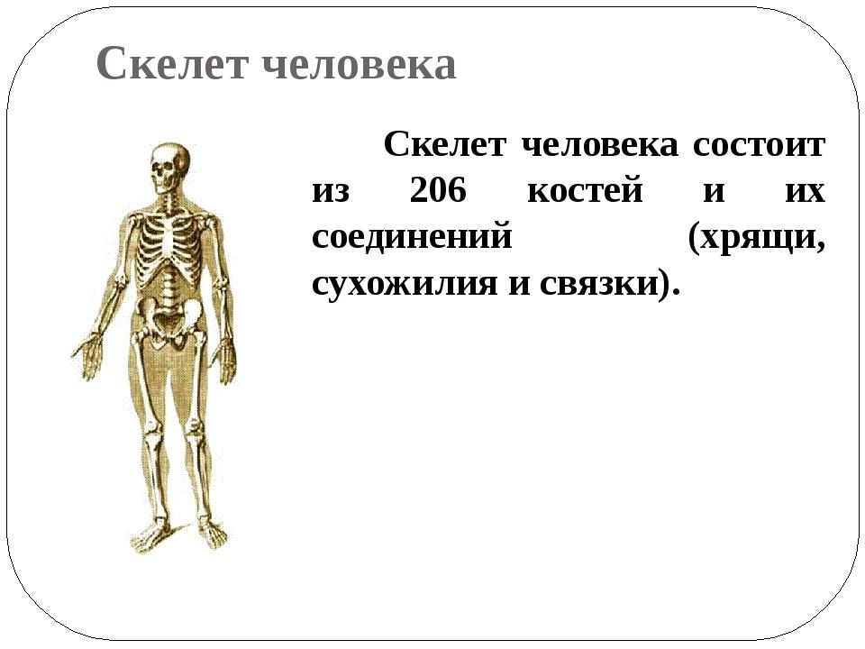 Скелет человека Скелет человека состоит из 206 костей и их соединений (хрящи,...