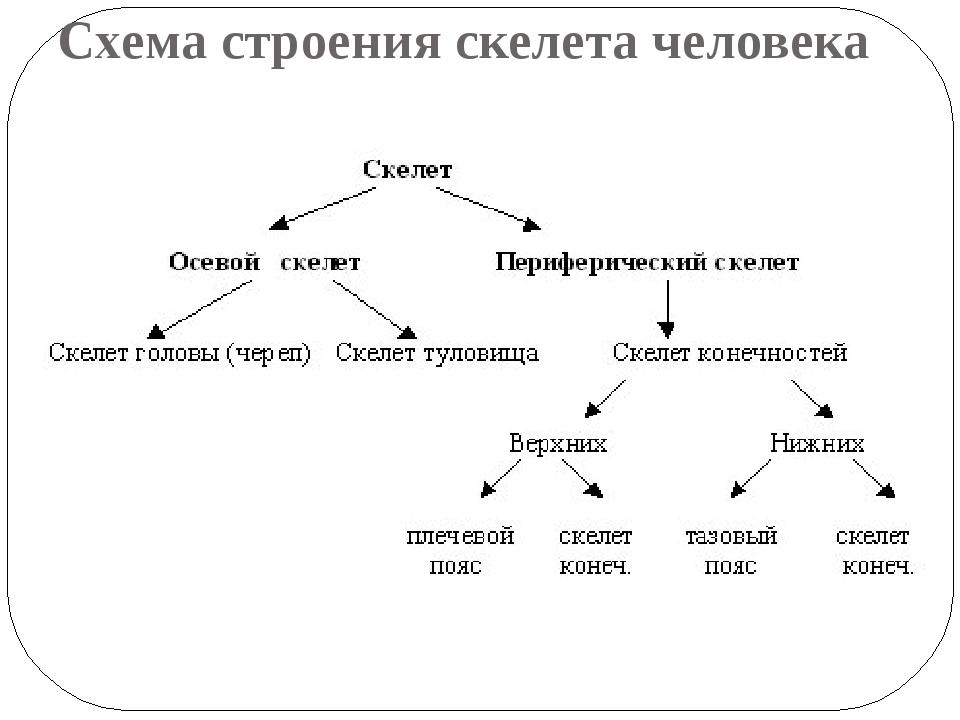 Схема строения скелета человека