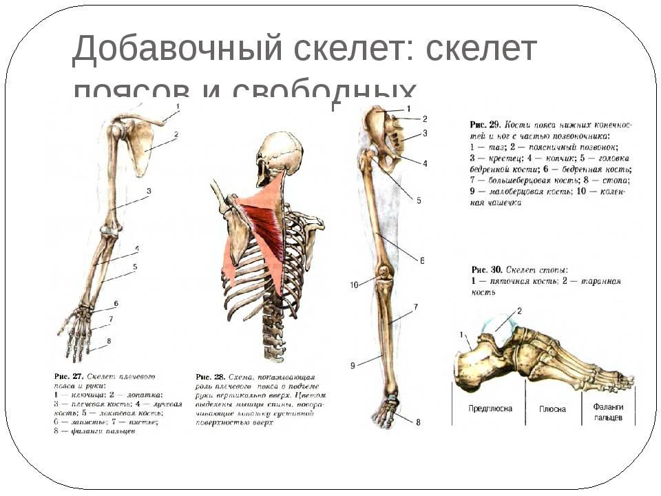 Добавочный скелет: скелет поясов и свободных конечностей.