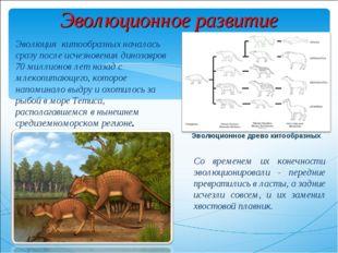 Эволюционное развитие Эволюция китообразных началась сразу после исчезновения
