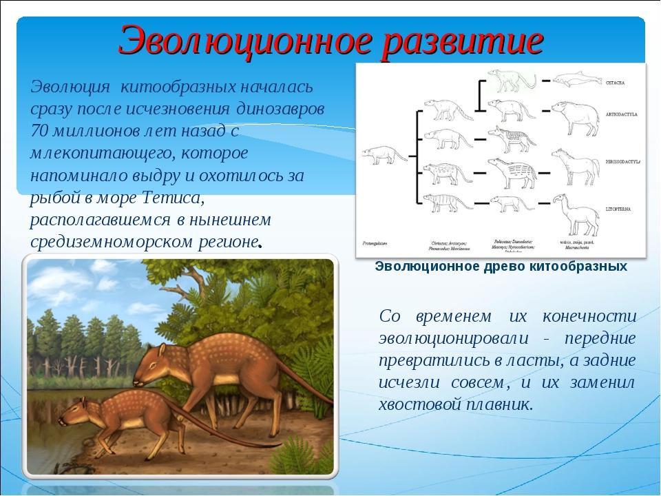 Эволюционное развитие Эволюция китообразных началась сразу после исчезновения...
