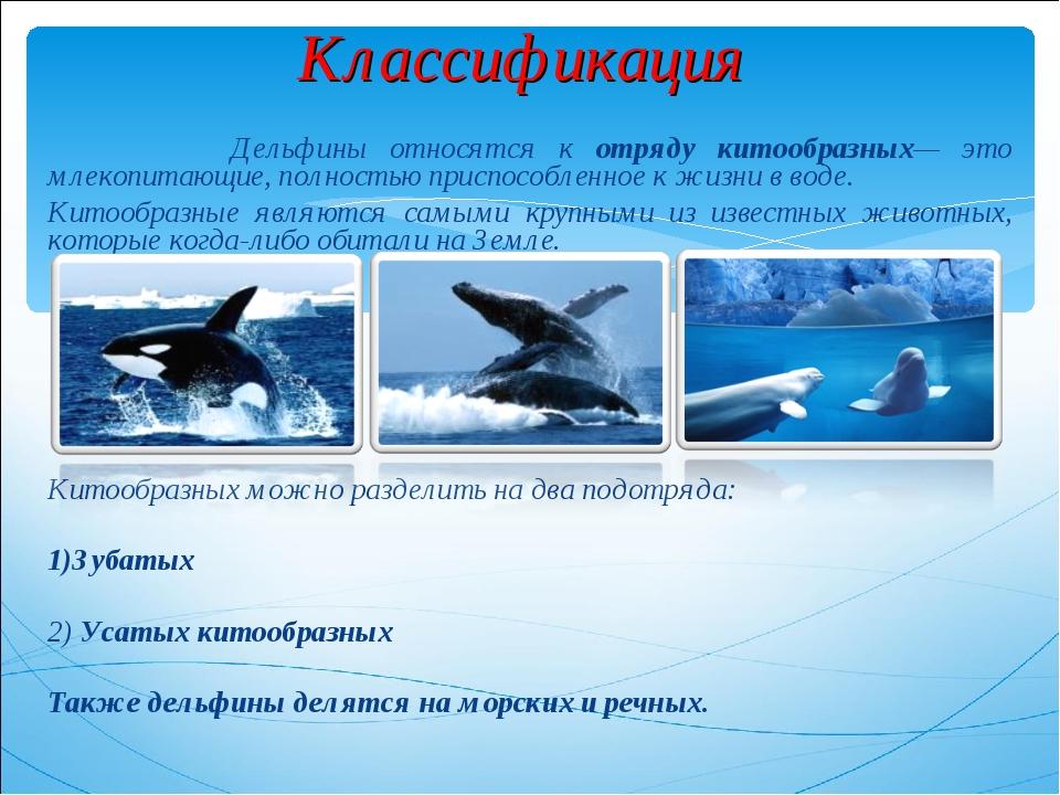 Классификация Дельфины относятся к отряду китообразных— это млекопитающие, по...