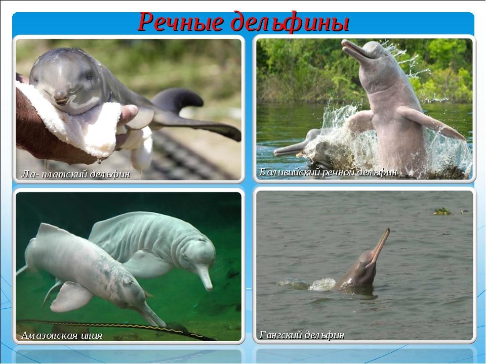 Речные дельфины Боливийский речной дельфин Амазонская иния Гангский дельфин Л...