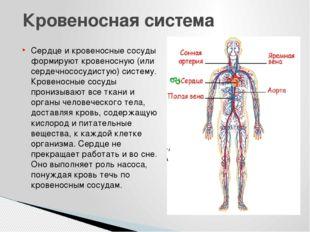Сердце и кровеносные сосуды формируют кровеносную (или сердечнососудистую) си