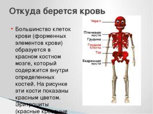 Большинство клеток крови (форменных элементов крови) образуется в красном кос