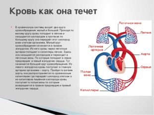 В кровеносную систему входят два круга кровообращения: малый и большой. Прохо