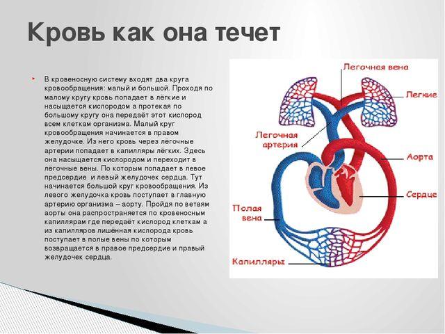 В кровеносную систему входят два круга кровообращения: малый и большой. Прохо...