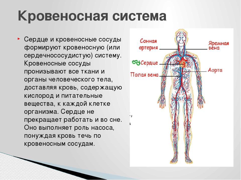 Сердце и кровеносные сосуды формируют кровеносную (или сердечнососудистую) си...