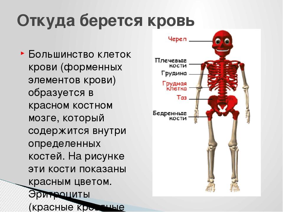 Большинство клеток крови (форменных элементов крови) образуется в красном кос...