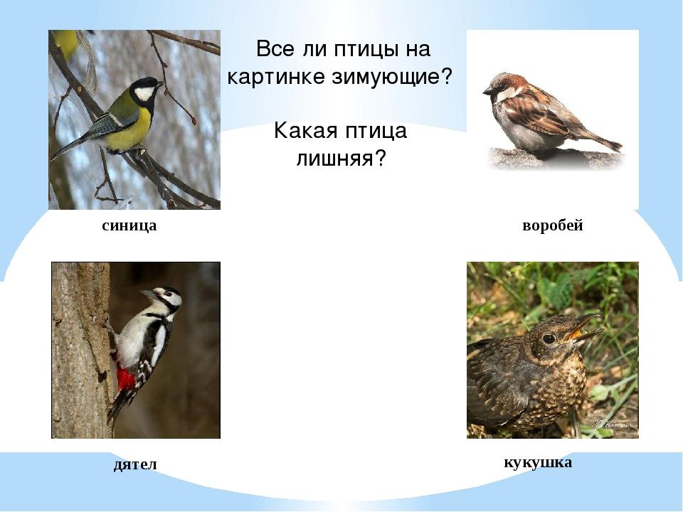 кукушка дятел синица воробей Все ли птицы на картинке зимующие? Какая птица л...
