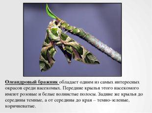 Олеандровый бражник обладает одним из самых интересных окрасов среди насекомы