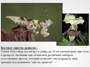 Богомол «цветок дьявола» Самки этого вида достигают в длину до 13 см сантимет
