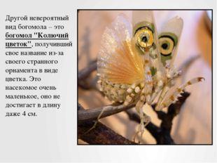 """Другой невероятный вид богомола – это богомол """"Колючий цветок"""", получивший св"""