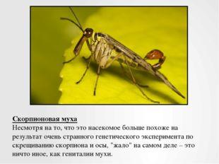 Скорпионовая муха Несмотря на то, что это насекомое больше похоже на результа