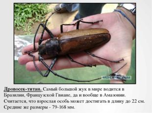 Дровосек-титан.Самый большой жук в мире водится в Бразилии, Французской Гвиа