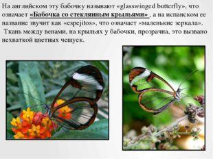 На английском эту бабочку называют «glasswinged butterfly», что означает «Баб