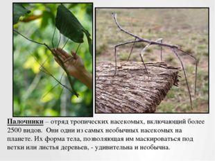 Палочники – отряд тропических насекомых, включающий более 2500 видов. Они од