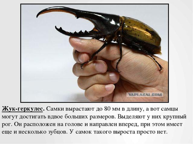 Жук-геркулес.Самки вырастают до 80 мм в длину, а вот самцы могут достигать в...