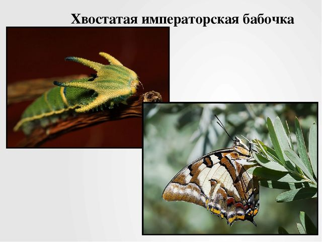 Хвостатая императорская бабочка