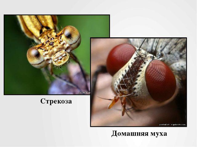 Стрекоза Домашняя муха
