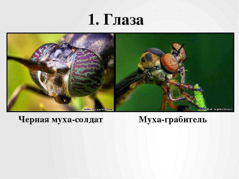 1. Глаза Черная муха-солдат Муха-грабитель