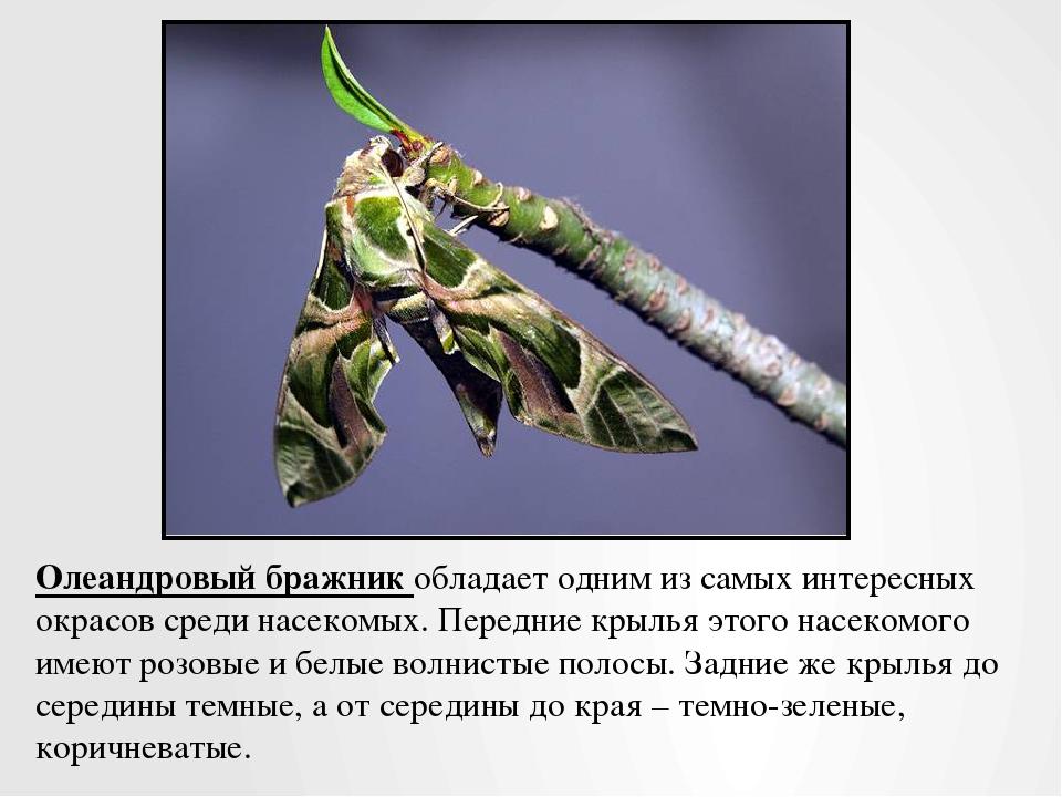 Олеандровый бражник обладает одним из самых интересных окрасов среди насекомы...