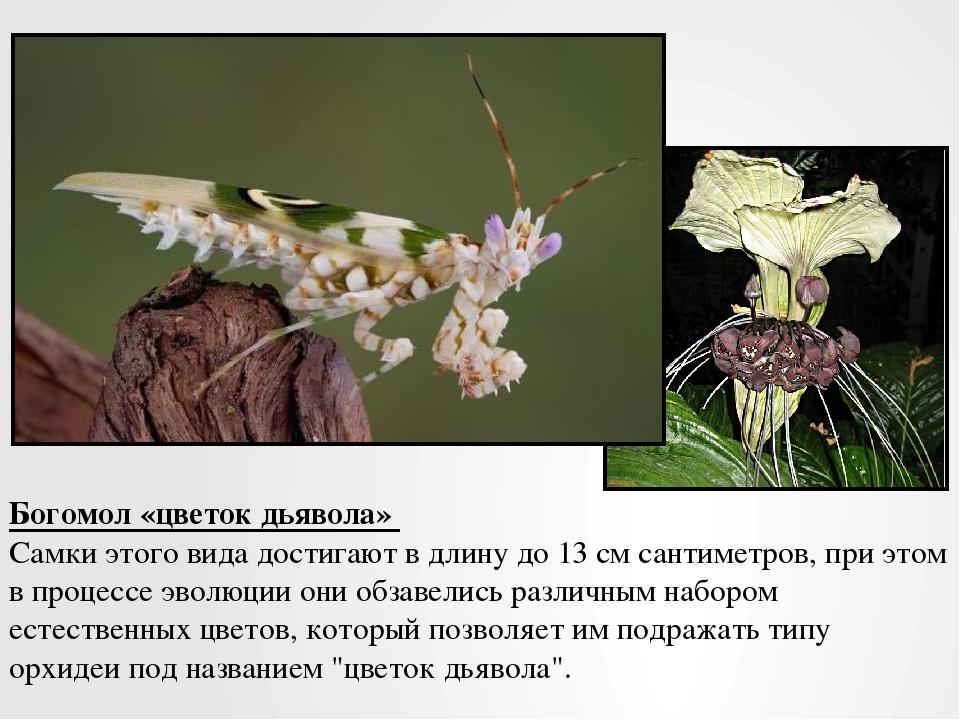 Богомол «цветок дьявола» Самки этого вида достигают в длину до 13 см сантимет...